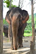 Big asia elephant in forest of sountheast asia Stock Photos