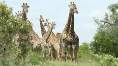 Large herd of giraffes Stock Footage