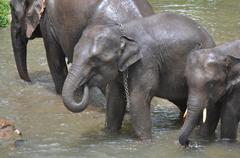 Cute asia elephant taking a bath in river of thailand Stock Photos