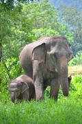 Asia elephant mother and baby in forest of southeast asia Stock Photos