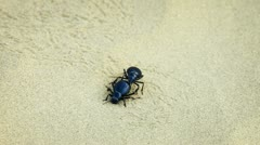 Two scarab beetle mate on the sand Stock Footage