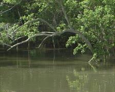 Mangrove trees at rising tide. Stock Footage