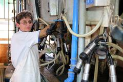 Woman Milking Cows - Dairy Farm - stock photo