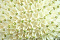 crown flower (calotropis gigantea) decorative pattern - stock photo