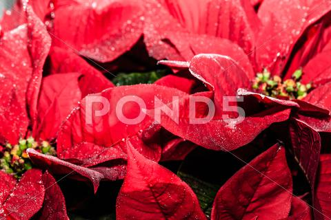 Stock photo of red poinsettia garden with green leaves - christmas flower