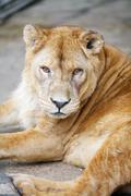 Female lion lying down - stock photo