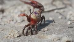 Fiddler Crab Stock Footage
