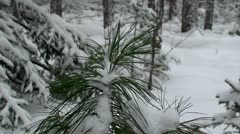 Winter forest. Young pine tree in the snow. Stock Footage