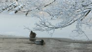 Mallards in the winter Stock Footage