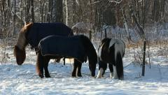 Icelandic horses in the winter Stock Footage