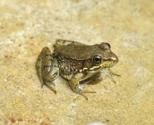 water green frog - stock photo