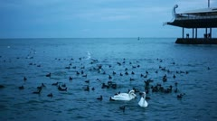 Three Swans And A Lot Of Black Birds In The Sea - stock footage