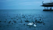 Stock Video Footage of Three Swans And A Lot Of Black Birds In The Sea