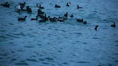 Waterfowl Birds Are Swimming In The Black Sea Stock Footage