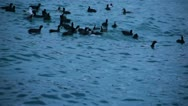 Stock Video Footage of Waterfowl Birds Are Swimming In The Black Sea