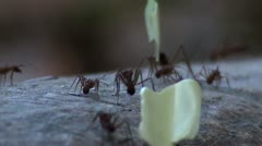 Leaf Cutter Ants Stock Footage