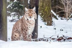 Eurasian Lynx lying and looking into camera - stock photo