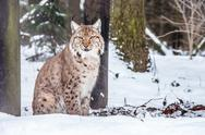 Stock Photo of Eurasian Lynx lying and looking into camera
