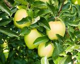 Stock Photo of golden delicious apples in the tree