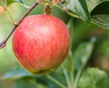 single gala apple in an apple tree - stock photo