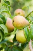 Russet pears in the orchard Stock Photos