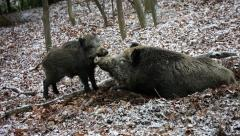 Young wild boar push his sleeping mother Stock Footage
