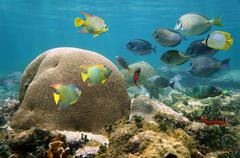 Brain coral with many colorful fishes Stock Photos