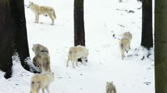 Arctic Wolf pack in snowy landscape Stock Footage