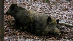 Young wild boar jumping around his relaxing mother Stock Footage
