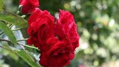 Red roses Stock Footage