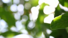 Lemon Leaves and Sunlight Stock Footage