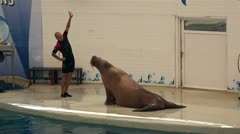 Famous walrus silva doing exercises. Stock Footage