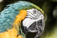 Stock Photo of a blue and yellow macaw closeup