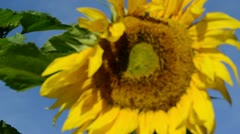 Closeup defocus sunflower head move wind blue sky background Stock Footage