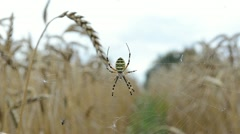 Closeup wasp spider web move wind agriculture field wheat ears Stock Footage
