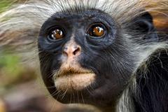 Zanzibar ape Stock Photos