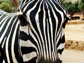 Stock Photo of Zebra 2