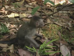 Baby long-tailed macaque (macaca fascicularis) Stock Footage