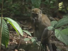 Long-tailed macaque  (macaca fascicularis) foraging Stock Footage