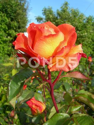 Stock photo of Orange rose in garden