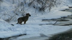 Dog at forest creek in winter Stock Footage