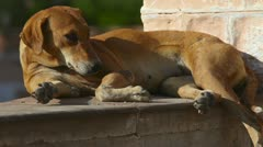 Stray dog. Stock Footage