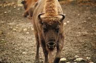 Angry bison Stock Photos