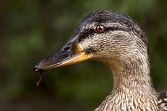 a duck eating - stock photo