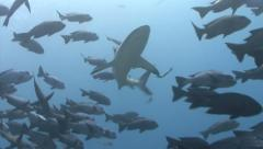 Shark with remora appears from behind fish - stock footage