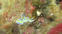 Tropical Underwater Twin Magnificent Nudibranch Stock Footage