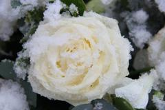 White rose, covered with snowflakes Stock Photos