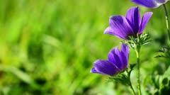 Two purple flowers in a wind Stock Footage
