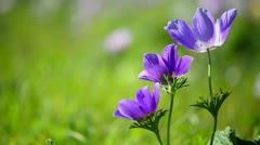 Three purple flowers Stock Footage