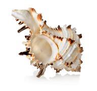 Big seashell isolated Stock Photos